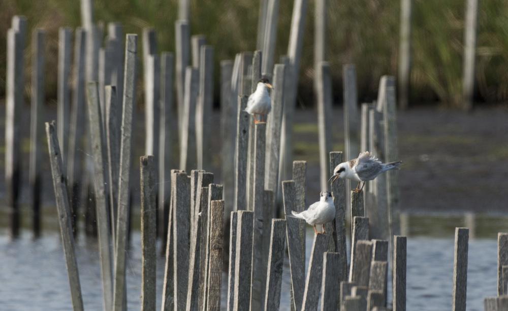 Nagging Gulls