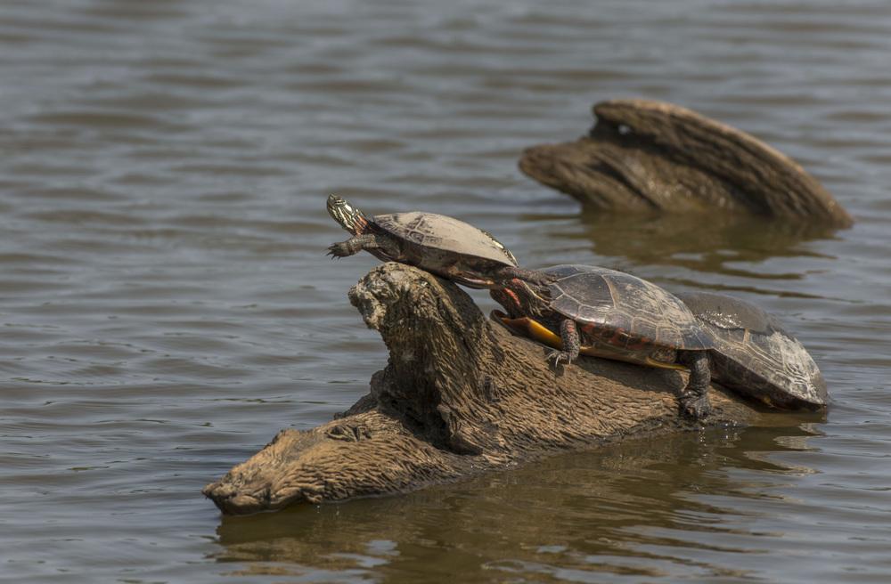 Turtle balancing
