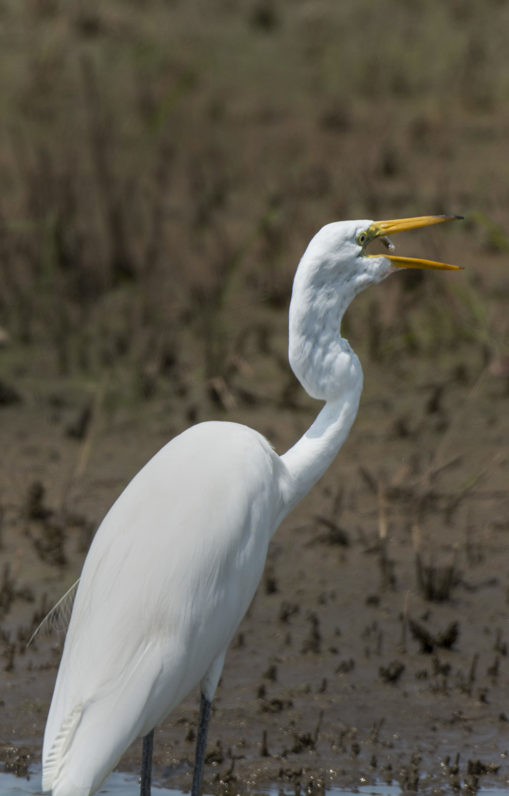 Great White Egret with lunch