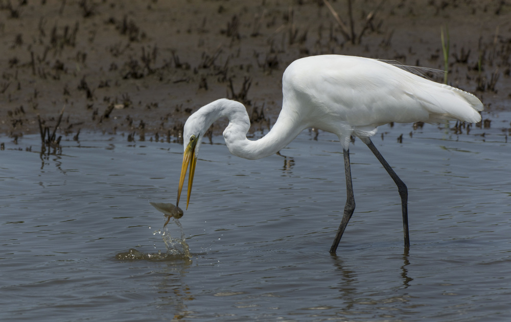 Great White Egret with tadpole