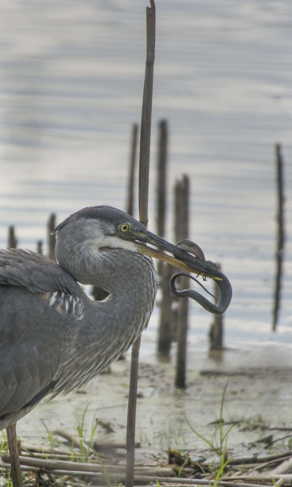 Great Blue Heron eating snake