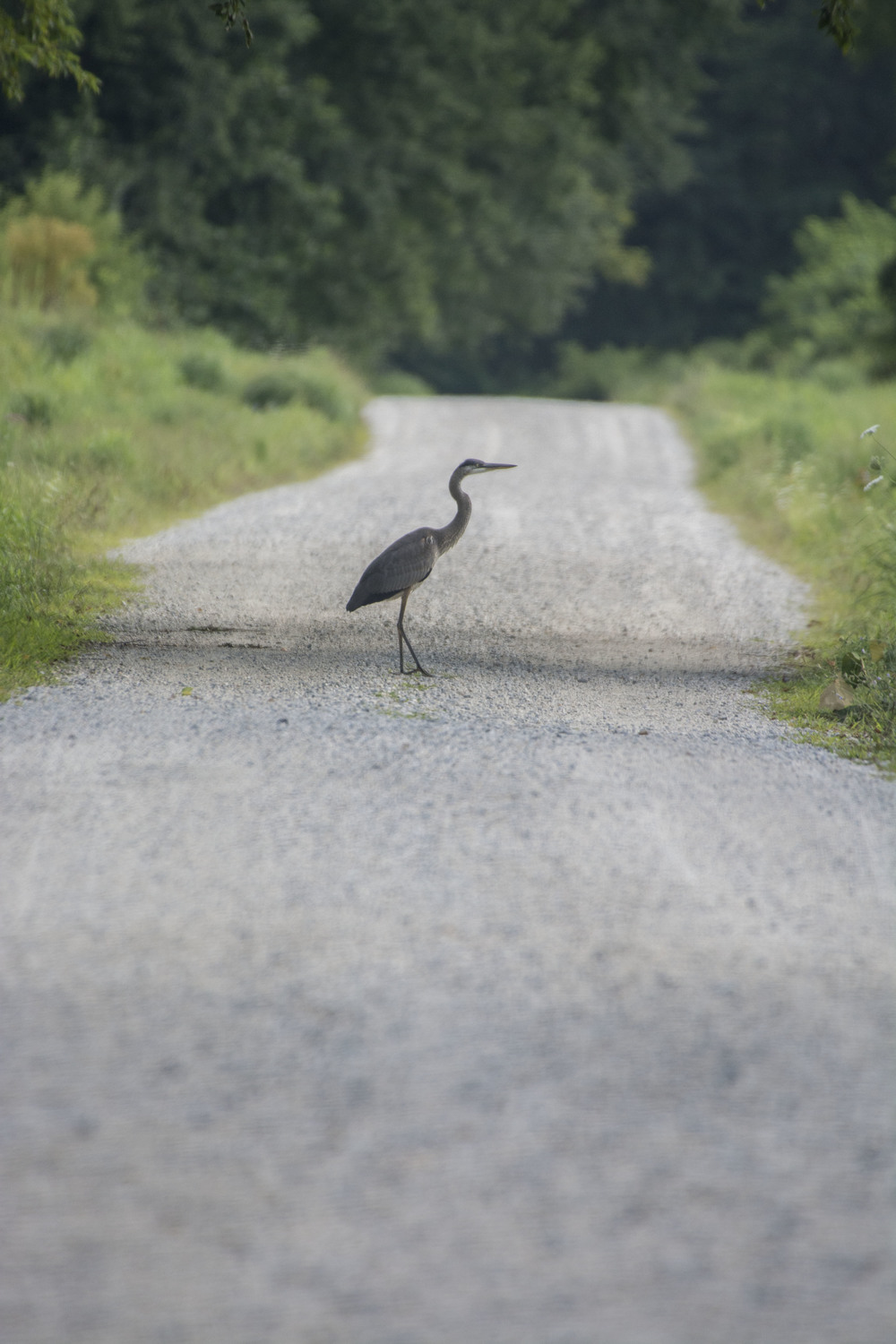 Great Blue Heron crossing road
