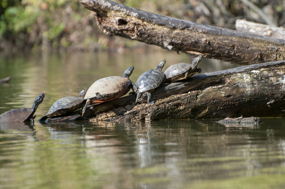 Turtle convention