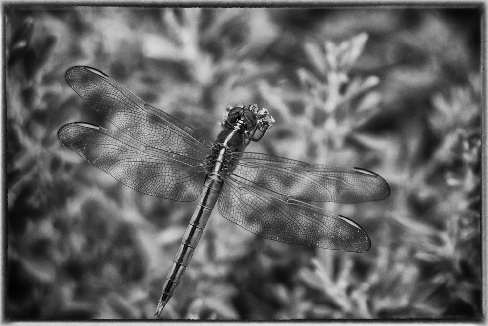 B&W Dragonfly