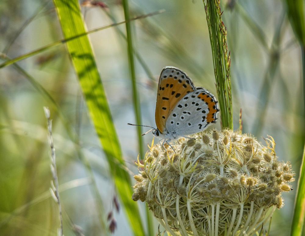 butterfly at Blackwater NWR