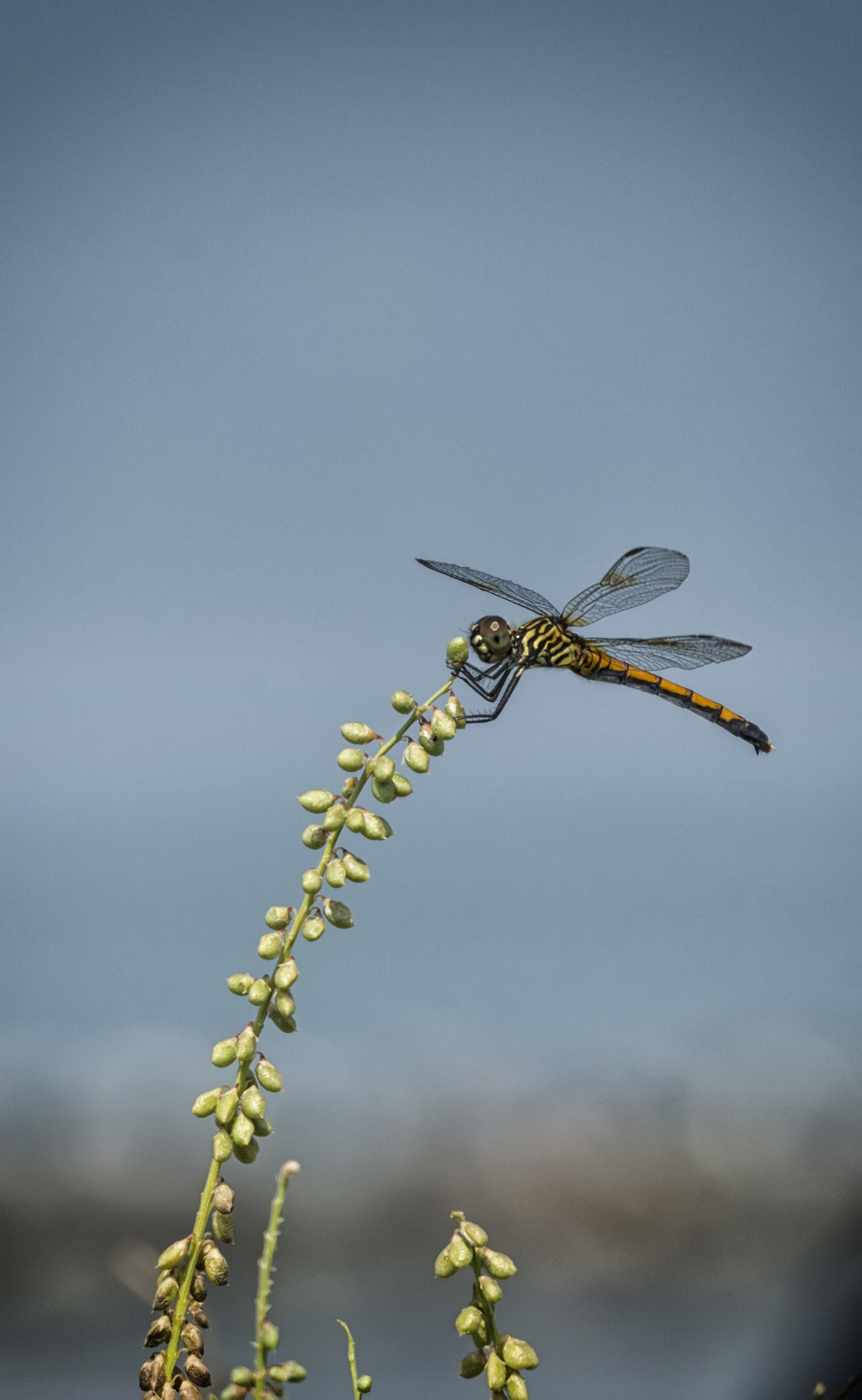 Dragonfly near Hooperville, Md.