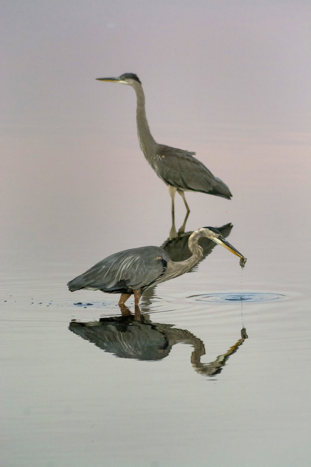 Herons at Bombay Hook NWR