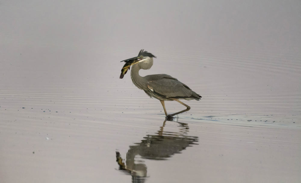Great Blue Heron with catfish at Bombay Hook NWR
