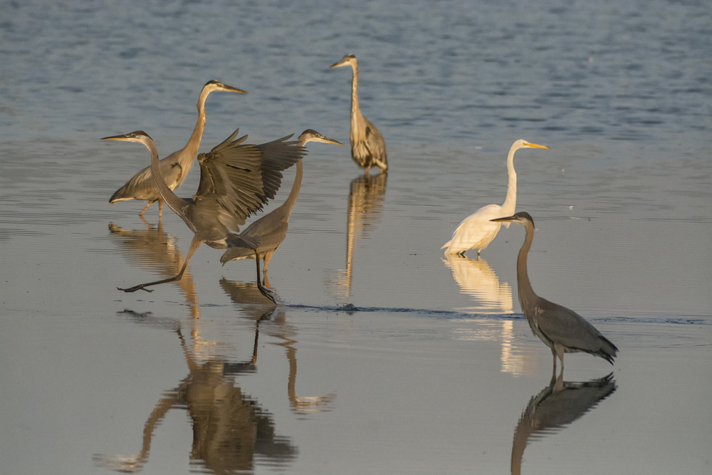 Herons and Egrets at Bombay Hook NWR