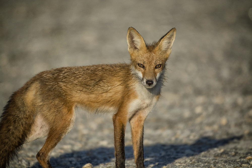 Red fox at Bombay Hook NWR