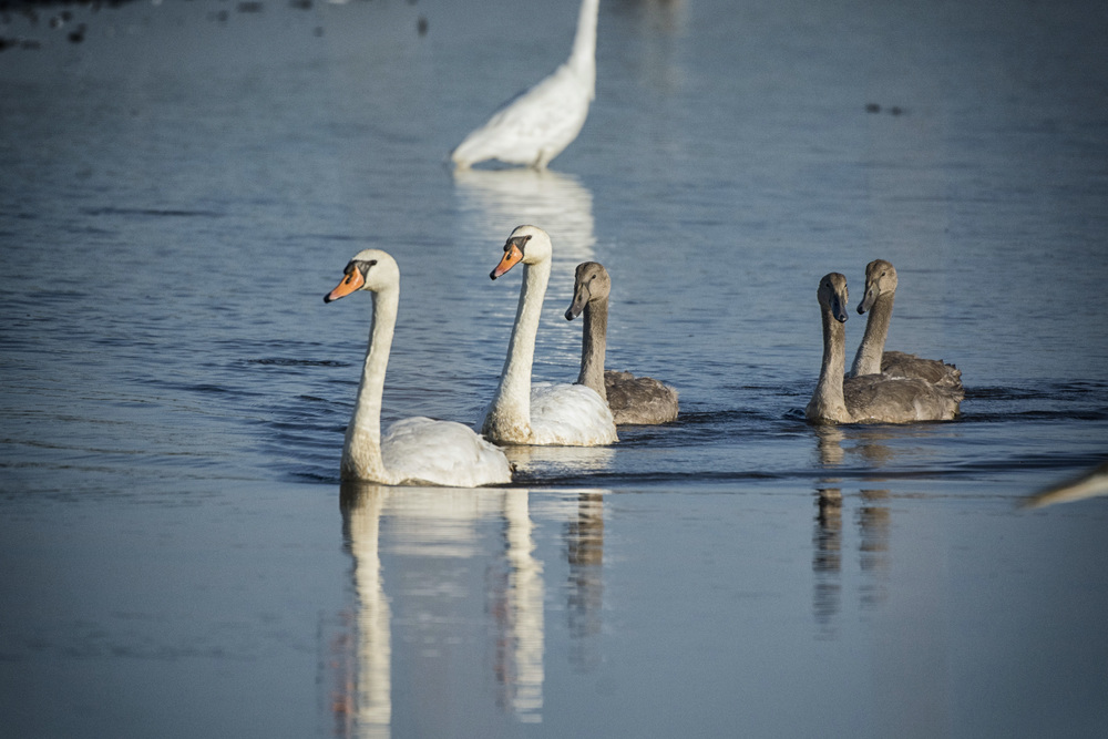 Swans at Bombay Hook NWR