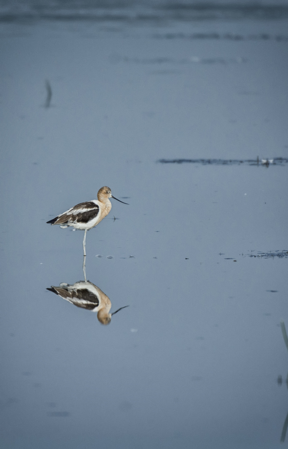 American Avocet at Bombay Hook NWR
