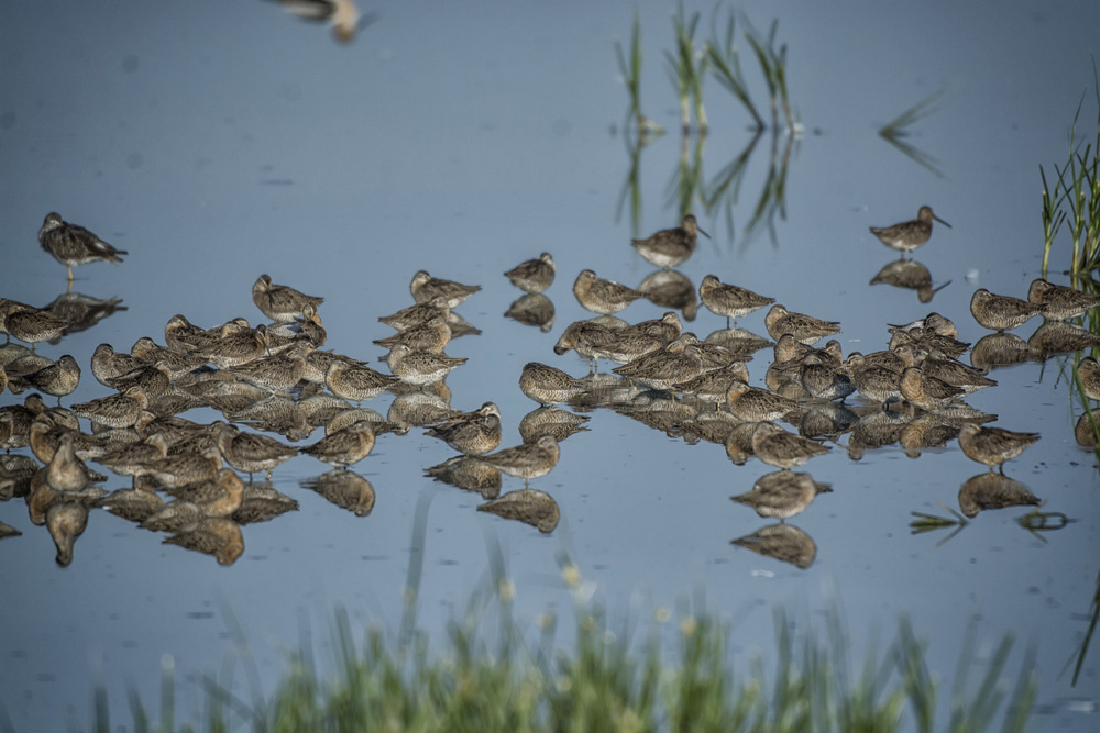Red Knots at Bombay Hook NWR