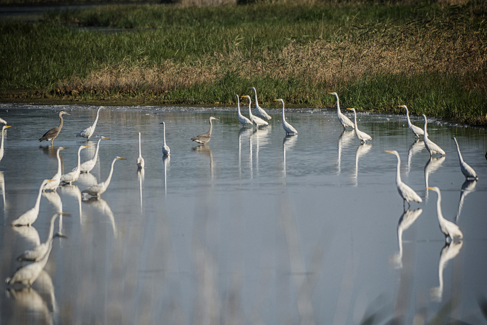 Egret showdown at Bombay Hook NWR