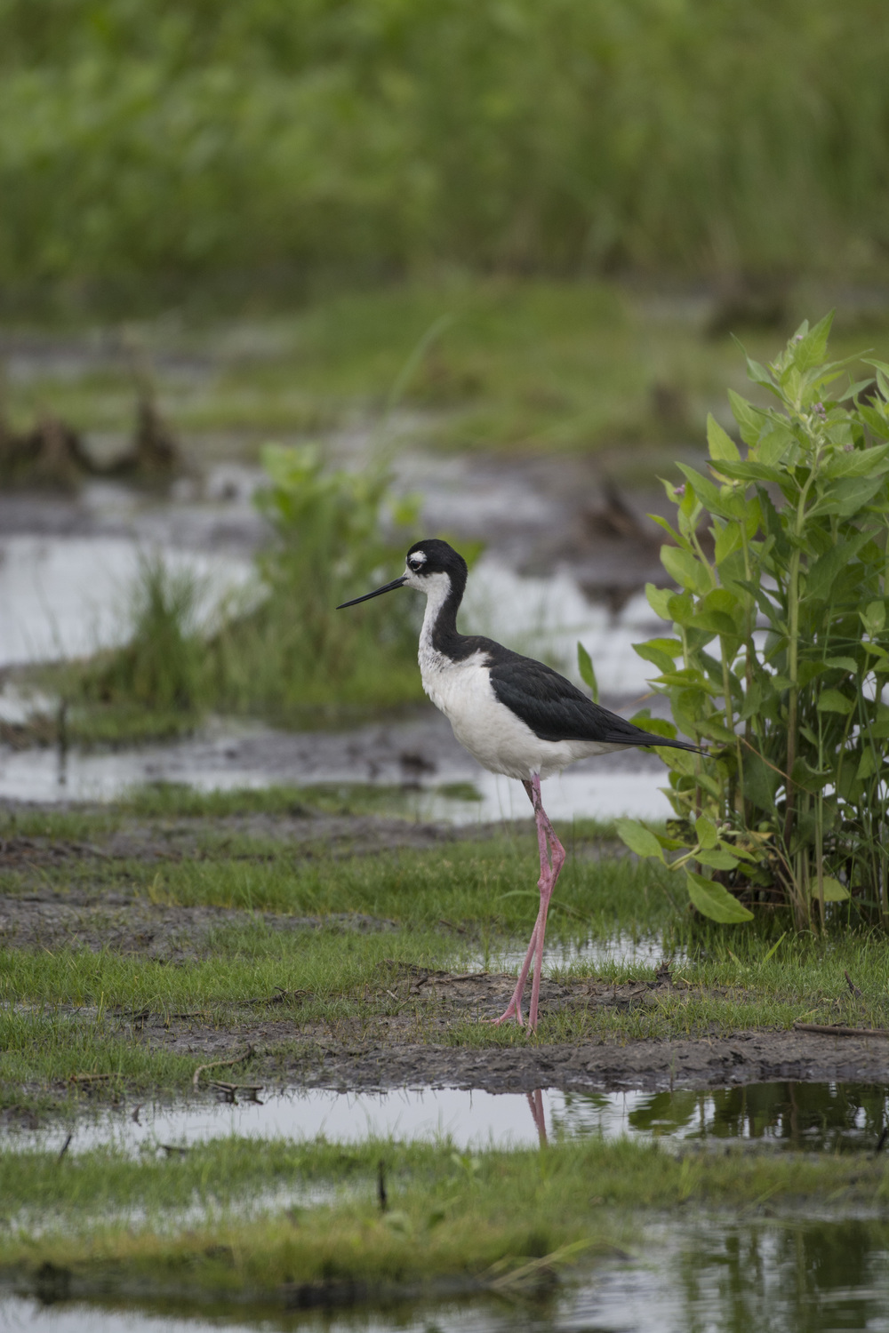 Black neck stilt at Bombay Hook NWR