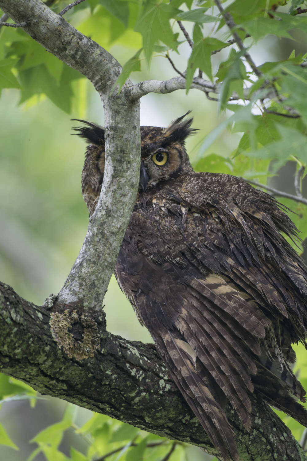 Great Horned Owl at Bombay Hook NWR
