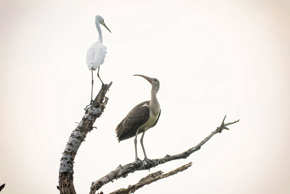 White Ibis and Egret at Bombay Hook NWR