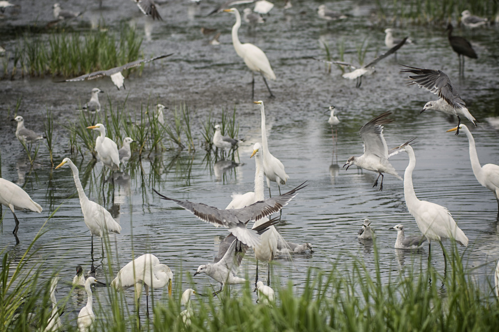 Egrets and gulls at Bombay Hook NWR