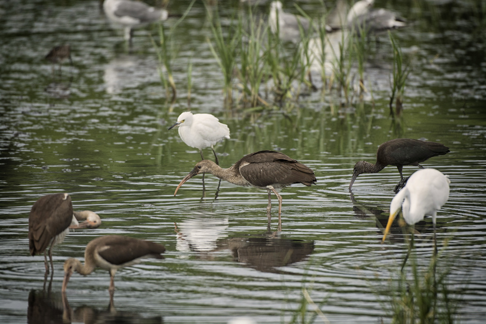 Egrets and White Ibises at Bombay Hook NWR