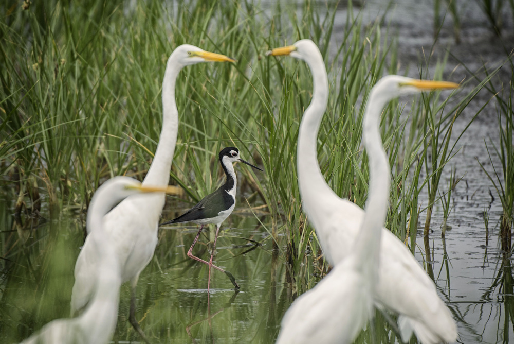 Great White Egrets from Black neck stilt at Bombay Hook NWR