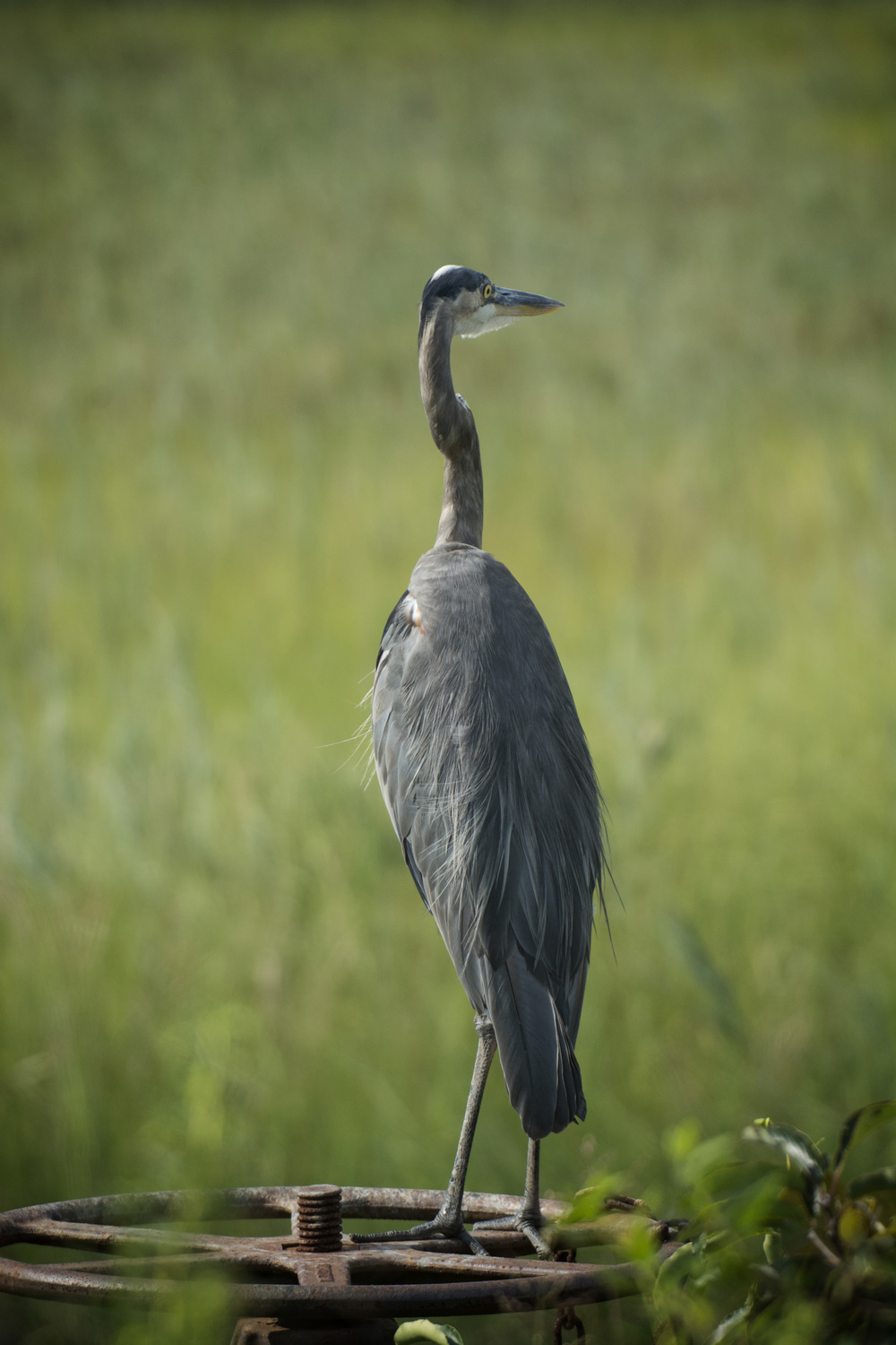 Great Blue Heron on sluice valve at Bombay Hook NWR