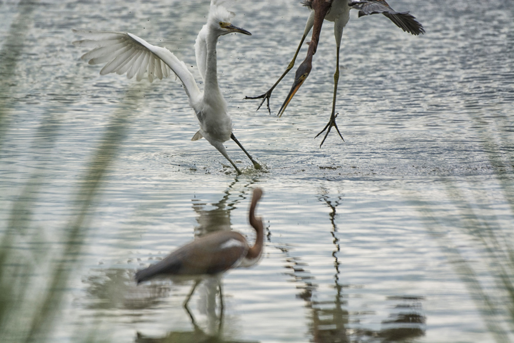 Louisiana Heron and Snowy Egrets fight at Bombay Hook NWR