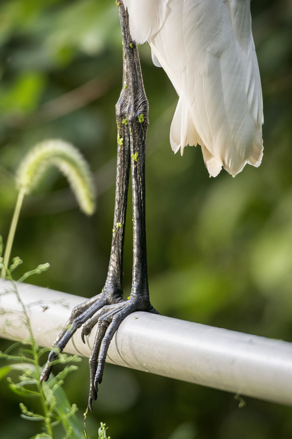 Egret legs at Bombay Hook NWR
