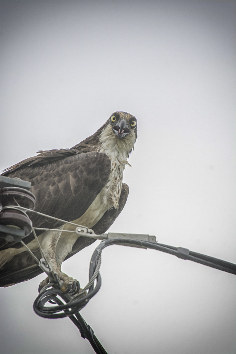 Osprey near C&D Canal