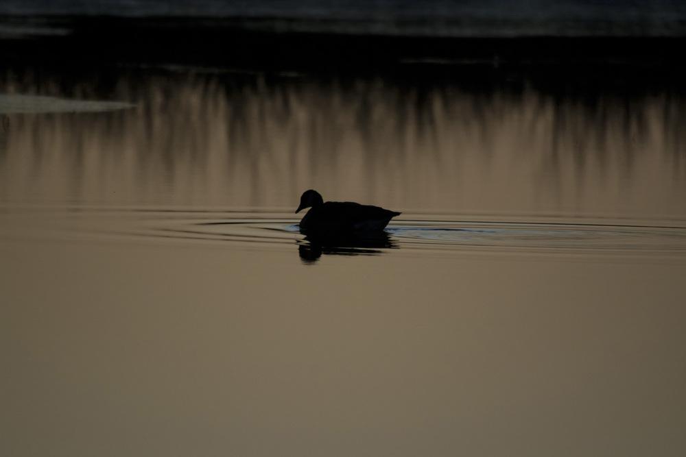 Goose at dawn