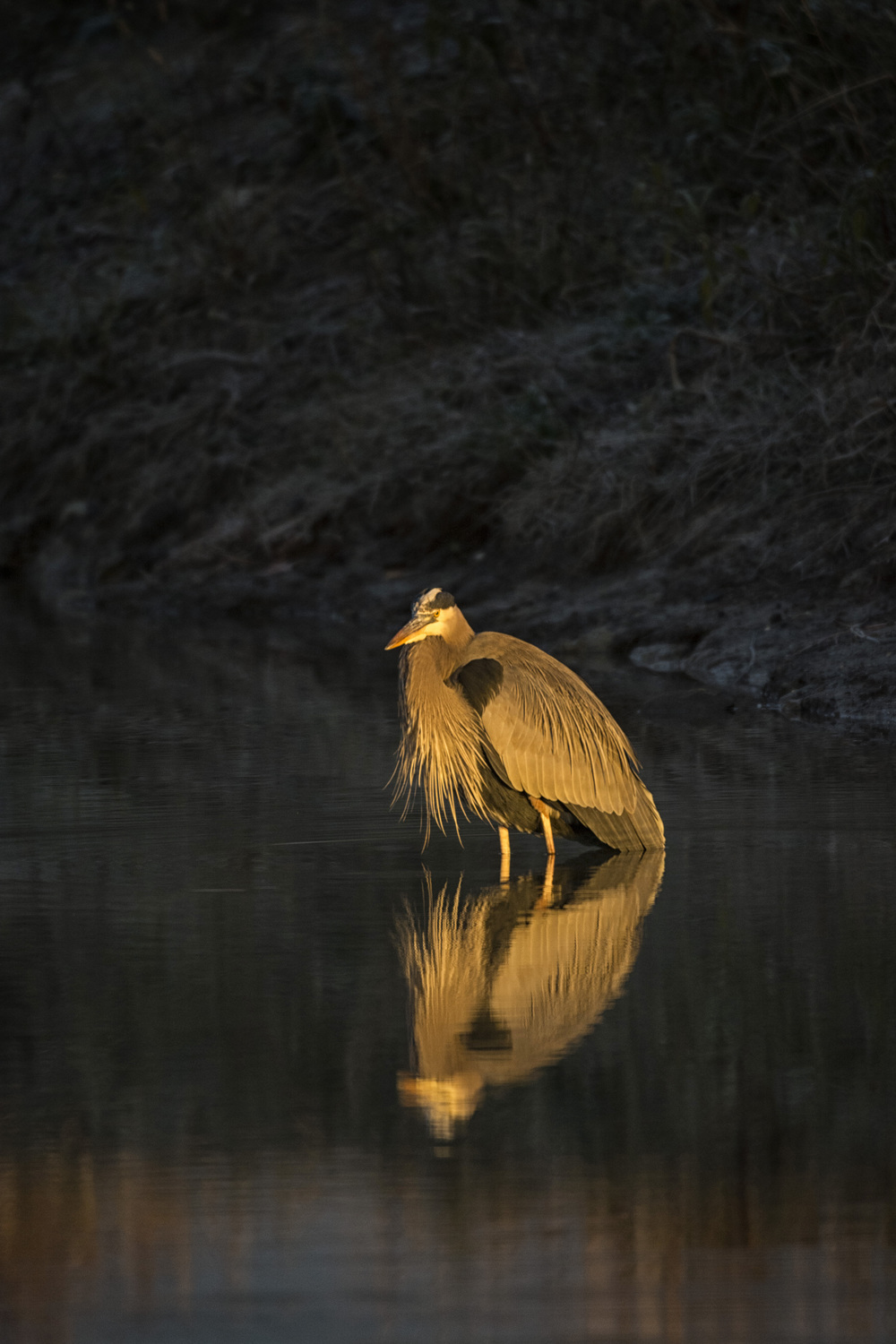 Bearded Blue Heron at dawn