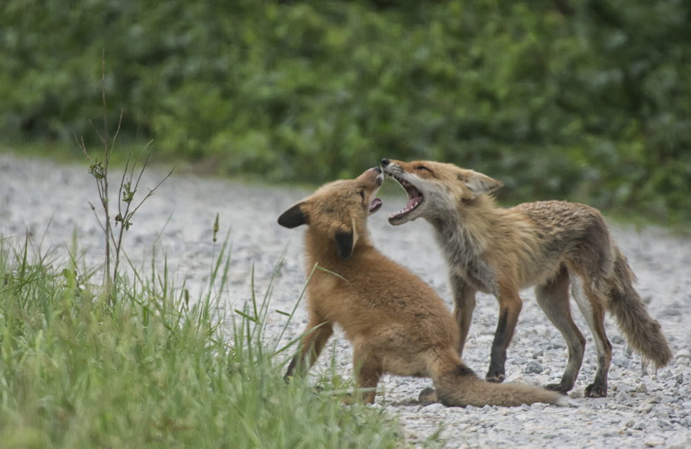 red fox kitts at play at Bombay Hook NWR