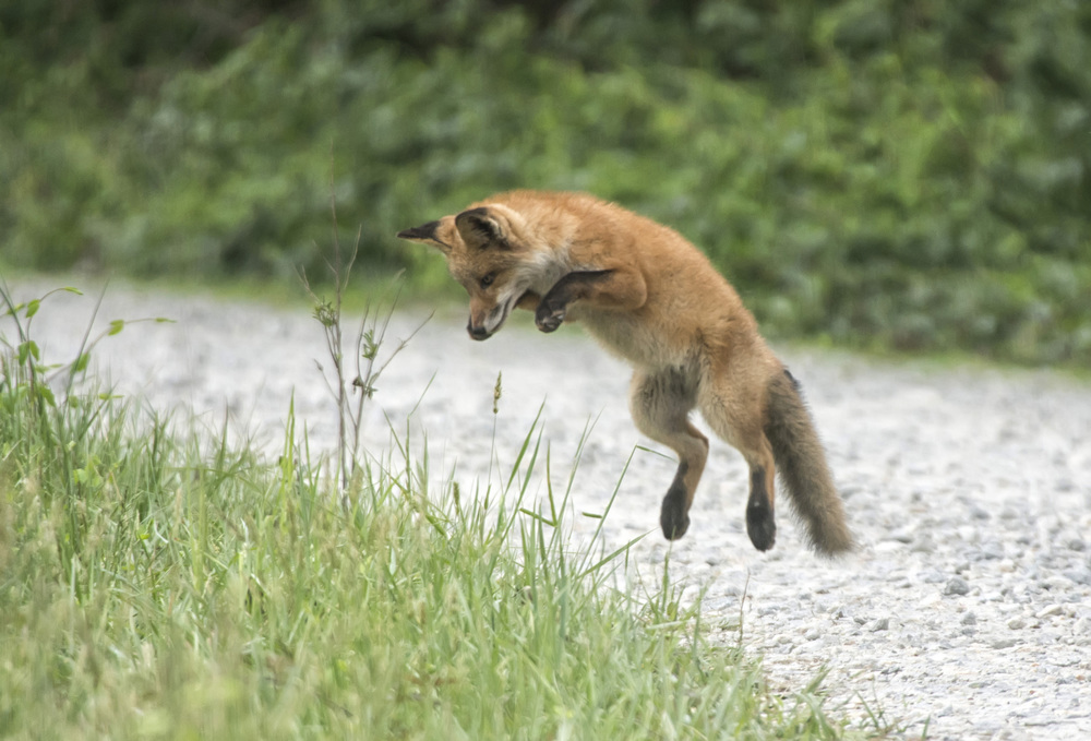red fox kitts at play
