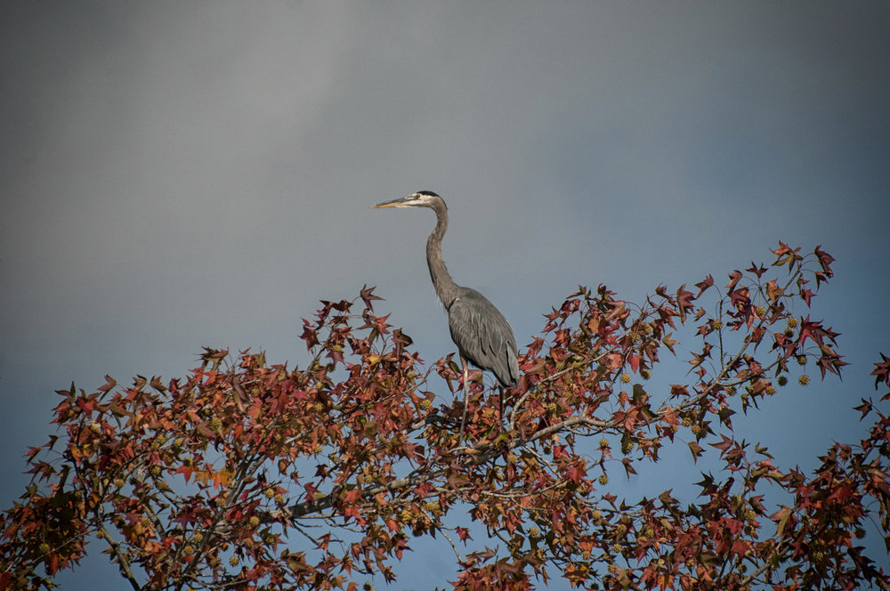 Great Blue Heron in autumn tree