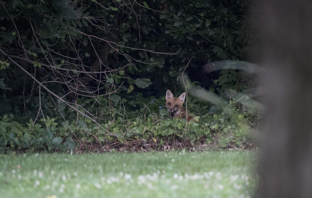 Red Fox peeking