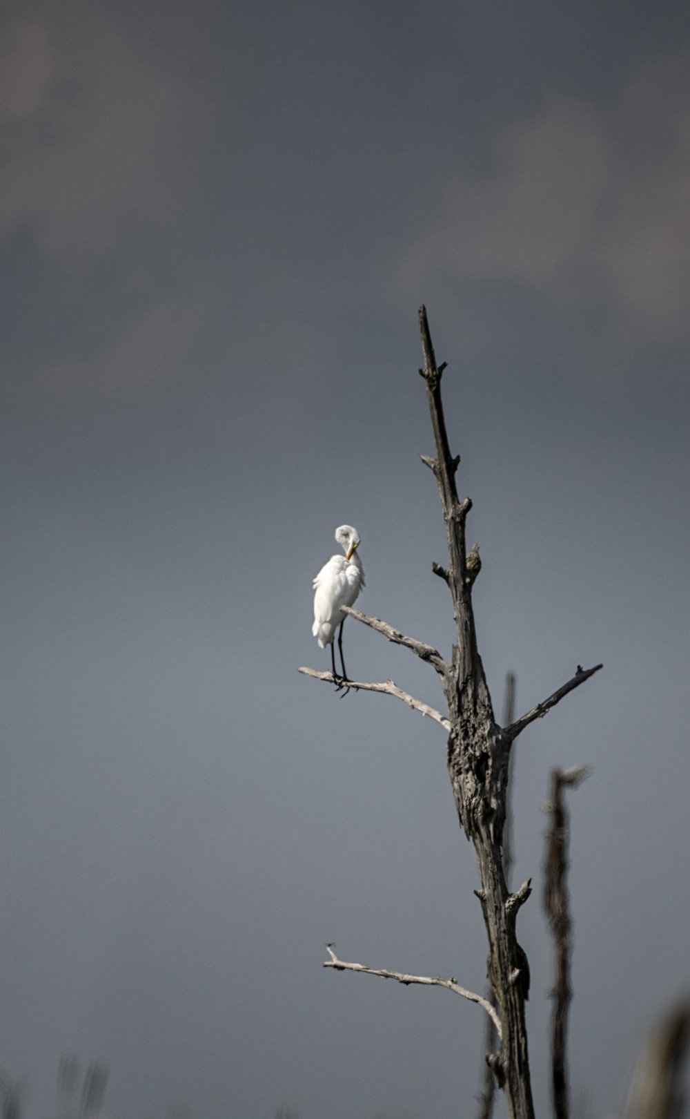 Great White Egret in tree