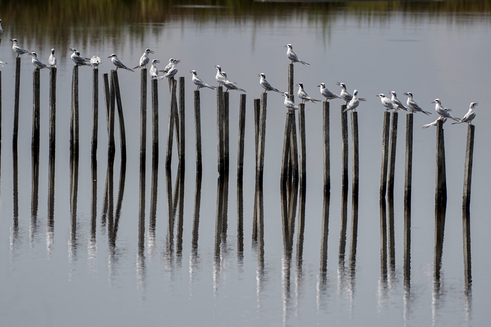 Forster's Tern on stakes