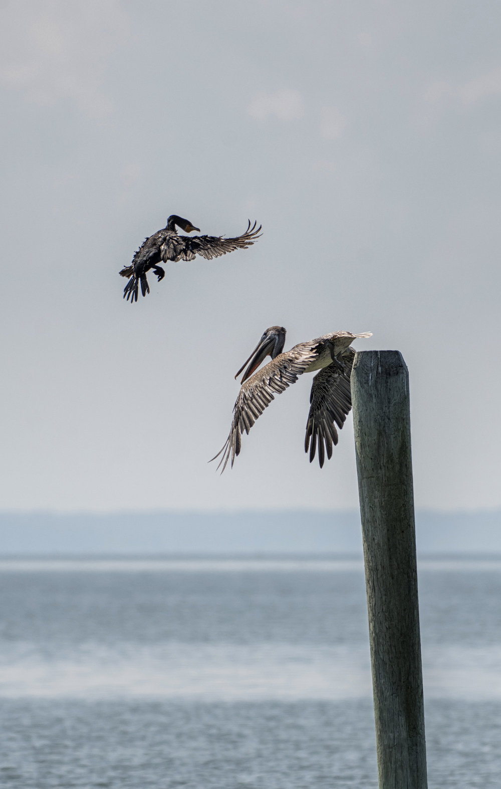 Brown Pelican and Cormorant fighting for piling