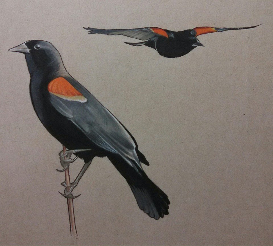 Red Winged Blackbird Sketch
