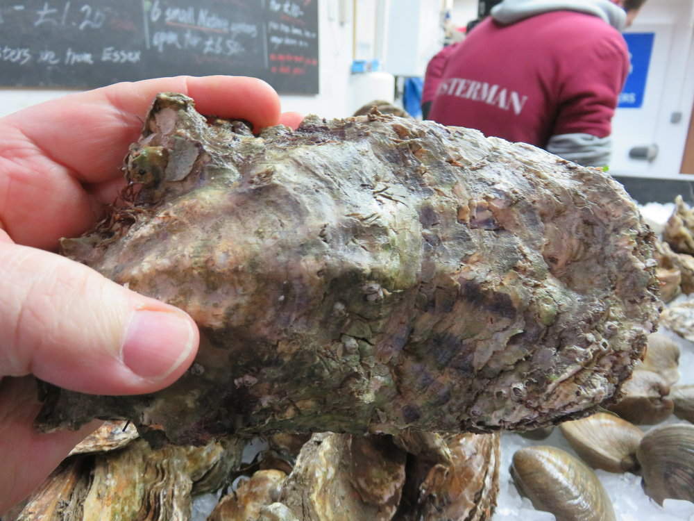 Largest oyster I have seen - twice my handwidth !