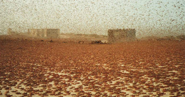 Swarm of locusts ... somebody has to pay.
