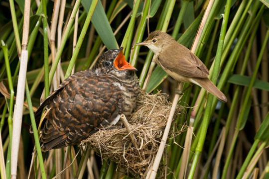 A mother reed warbler attempts to feed a huge, parasitic European cuckoo chick that has taken over her nest.