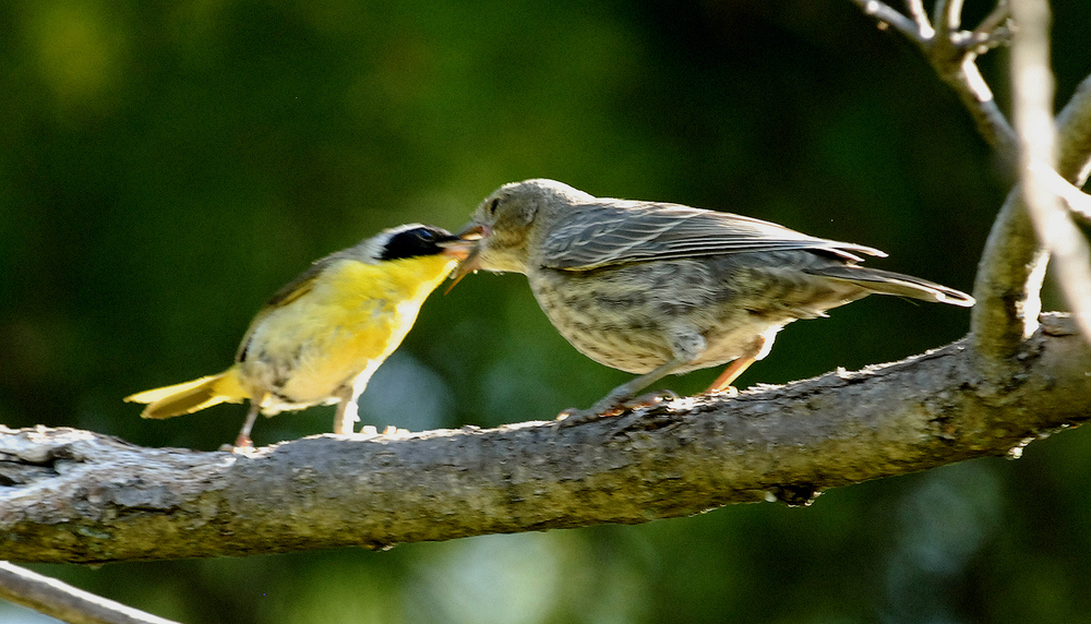 In the U.S., a yellowthroat feeds a parasitic cowbird chick.