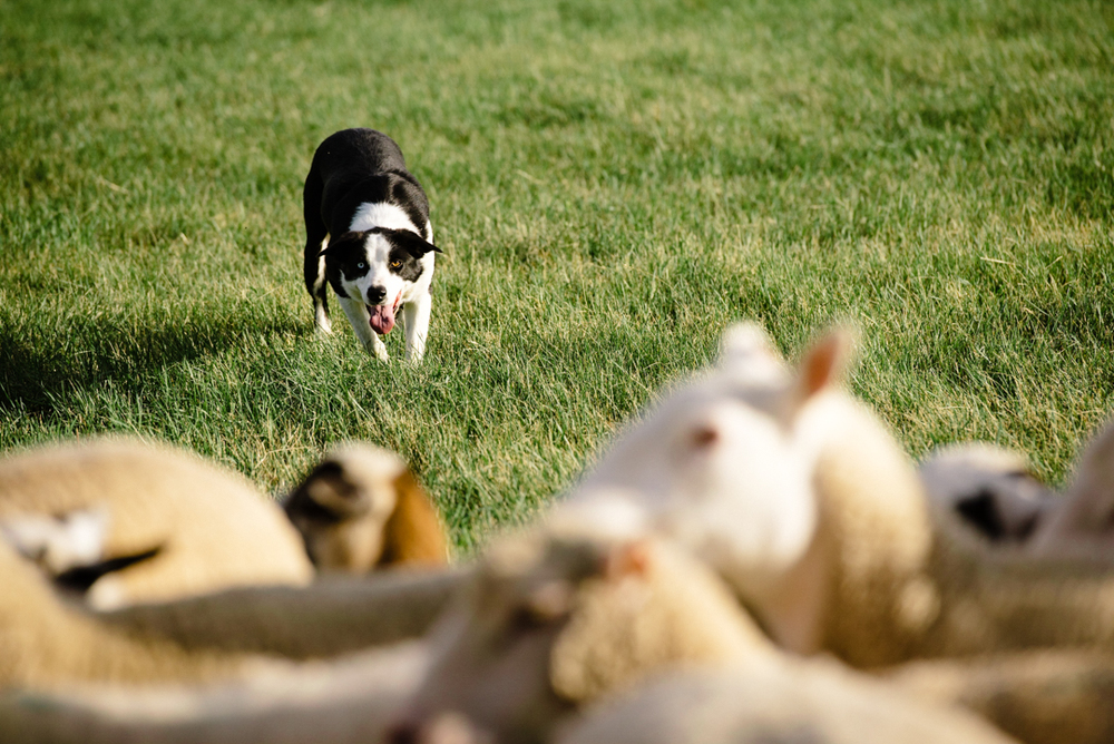 During the Soldier Hollow Classic, sheepdogs will corral sheep through a course that's up to 700 yards long.