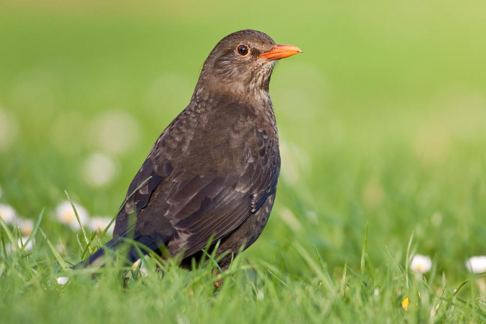 Blackbird, Dunedin Botanic Garden1 copy.jpg