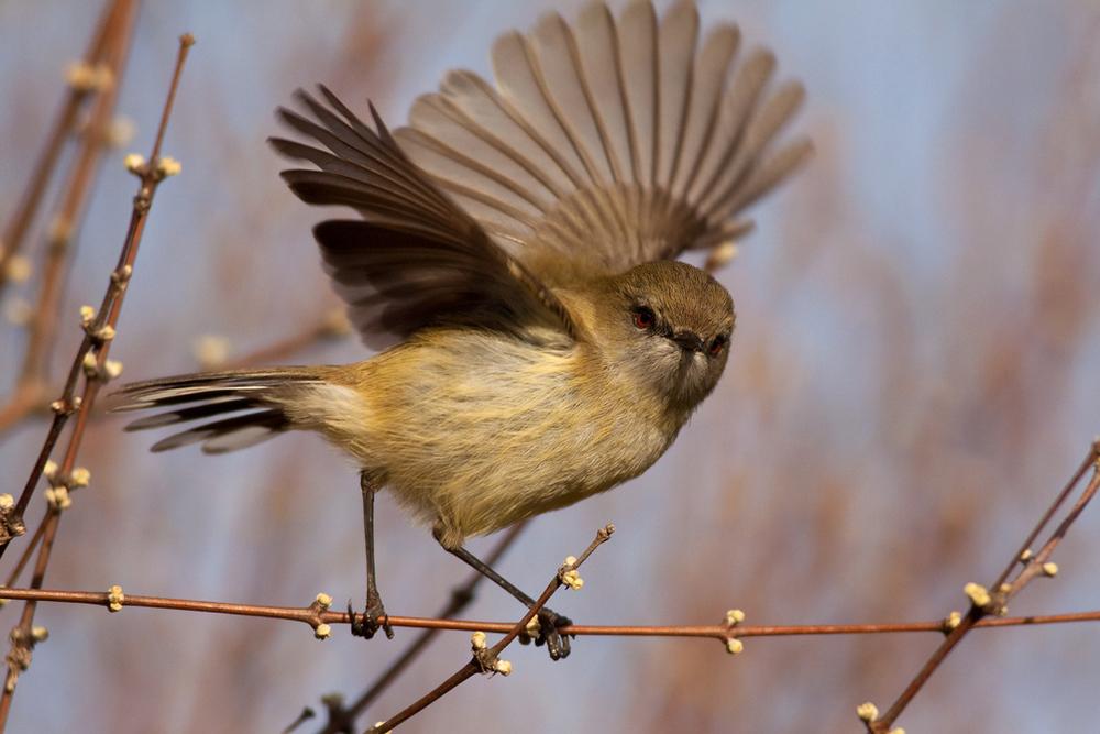 Grey warbler, Botanic Garden1 copy.jpg