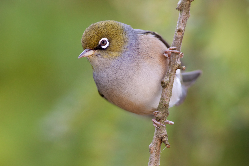 Silvereye on kowhai22(webfinal) copy.jpg