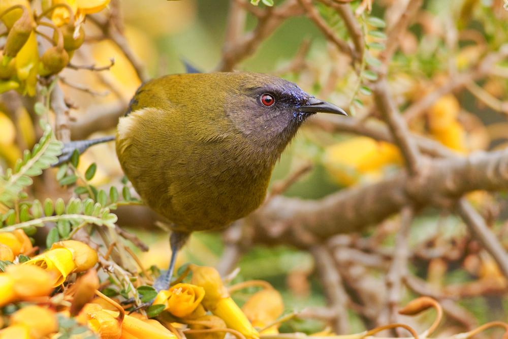 Bellbird, Botanic Garden6(s).jpg