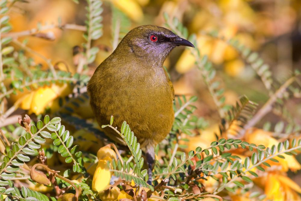 Bellbird, Botanic Garden5(s).jpg