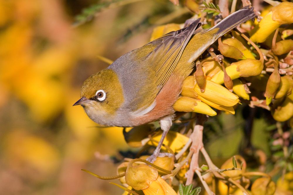 Silvereye, Botanic Garden2(s).jpg
