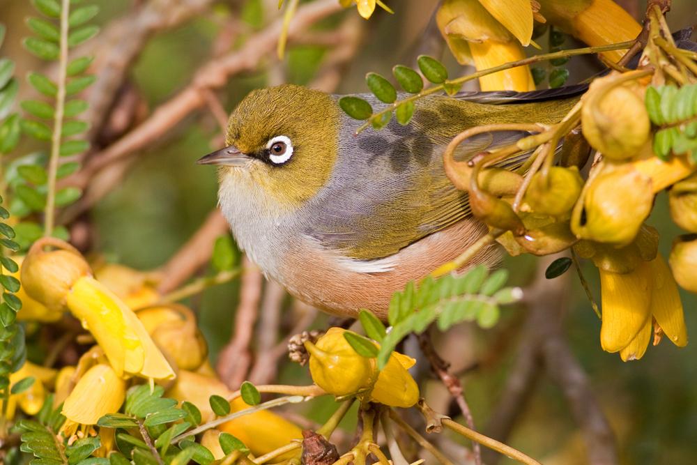 Silvereye, Botanic Garden4(s).jpg